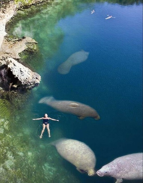 swimming with manatees.