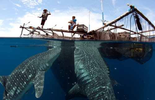 via hennypotter whale sharks indonesia