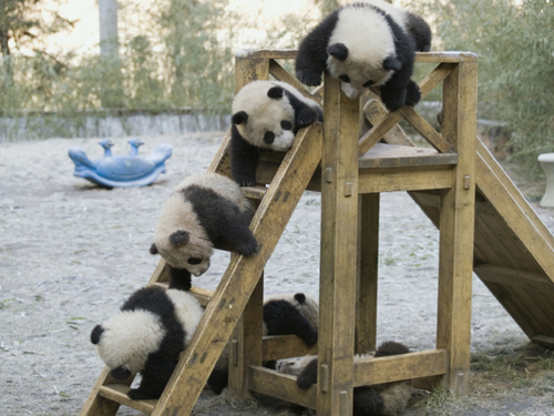 Giant Panda (Ailuropoda melanoleuca), five captive bred cubs playing, Wolong Giant Panda Research Center, China